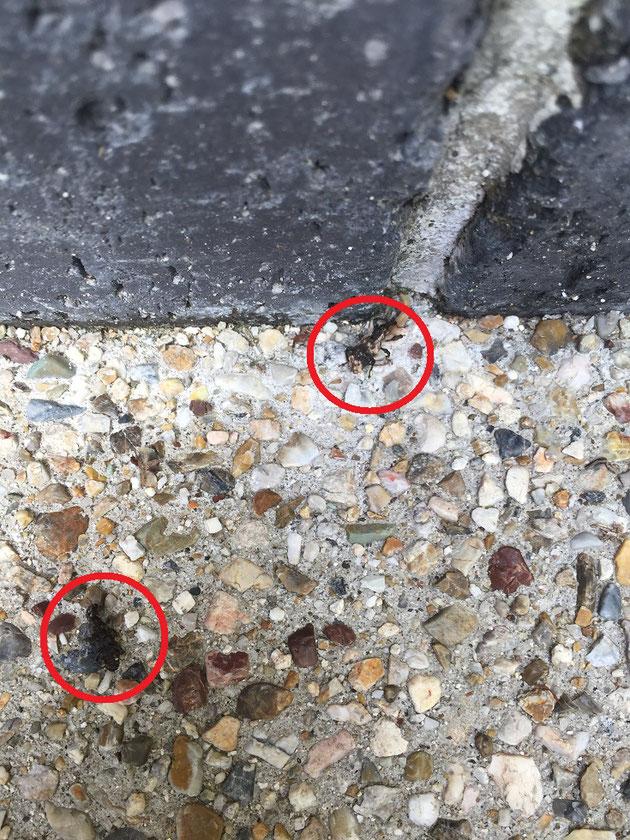 ゾウムシのツガイ発見!!!アオダモの上でいちゃいちゃしてました。
