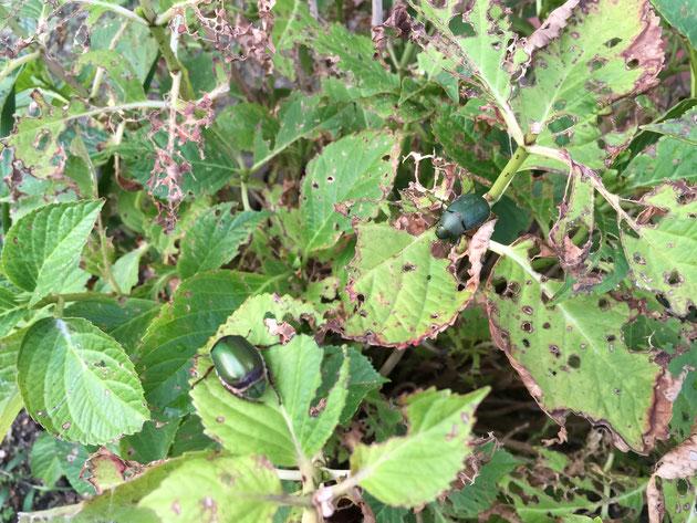 集団でアジサイの葉を食べるコガネムシ。コガネムシの好物なのか?