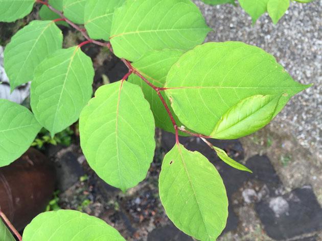 緑色で柔らかい印象の葉っぱ