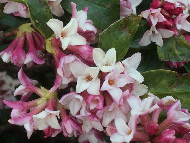 春を香りで告げる花【ジンチョウゲ】とても良い香りでハッとします!