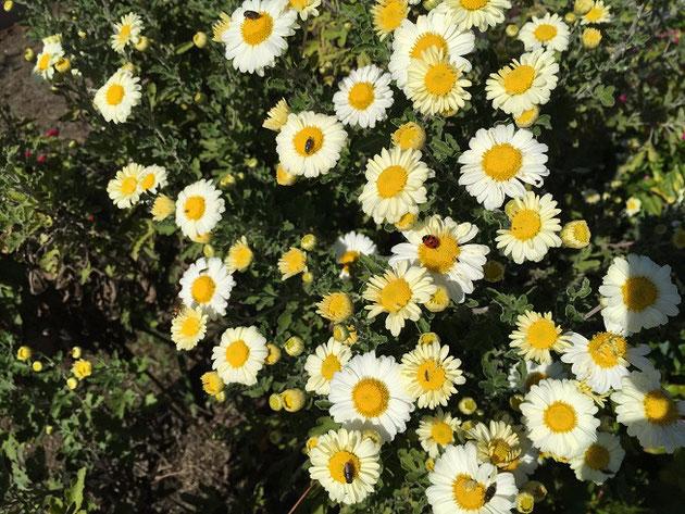矢田川の河川敷に生えていたキク科の植物。