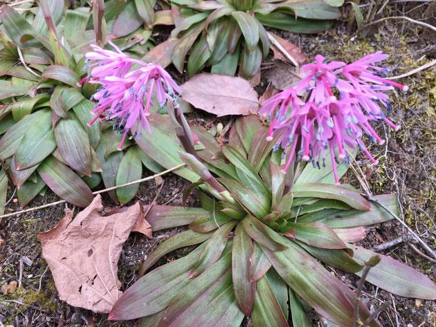 この植物は一体なに?花の色はカタクリに似ているんだけど・・・
