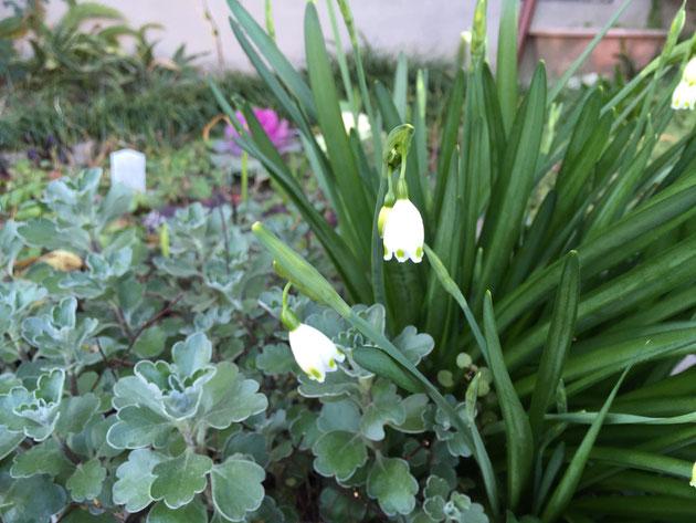 白い花が美しいスノードロップ。3月12日撮影。名古屋市守山区にて。