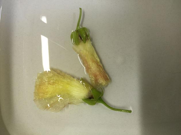 オクラの花を水でよく洗う。あらったら小さいな生物やゴミが出てきた。