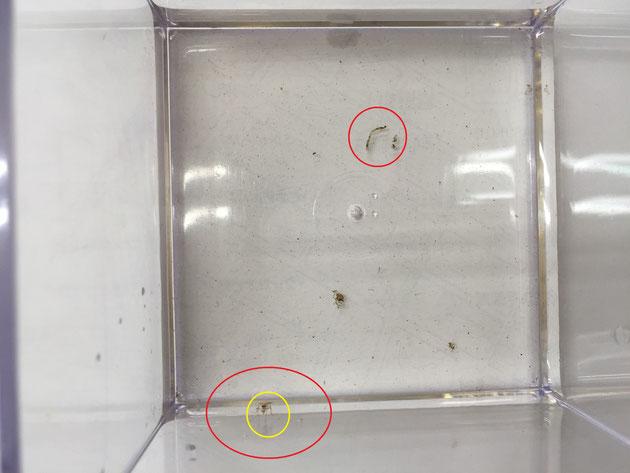 一つだけあった怪しい抜け殻のようなもの。そして、脱皮したての何かの虫が居た。これは蚊ではないと思われる。
