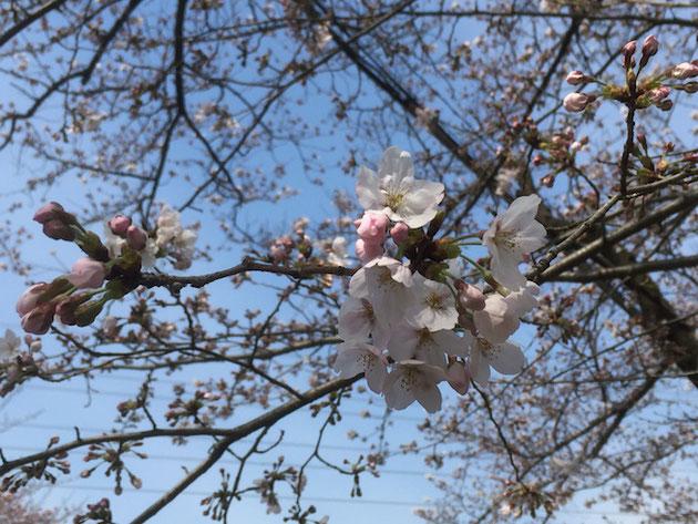 美しい桜色のソメイヨシノ。2017年4月5日撮影。
