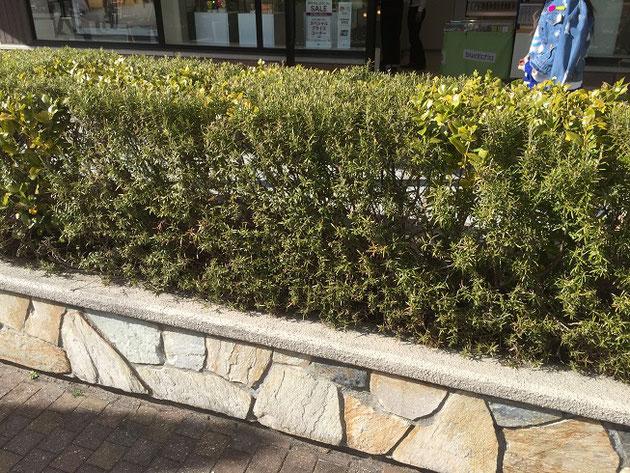石ので装飾された花壇に植わっている植物。背が高くなっていて垣根のようになっているが、この植物は?