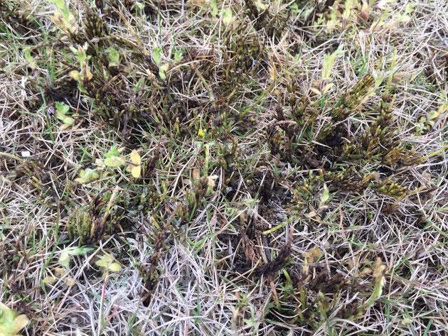 除草剤の結果で見事にスギナが枯れ始めている。葉っぱのある植物も葉が黄色く変化してきている