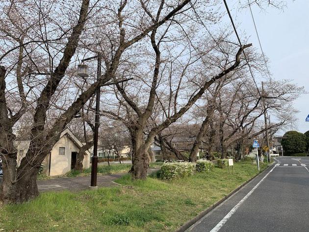 2019年3月28日の雨池公園のソメイヨシノ。まだ1分も咲いていない気がします。
