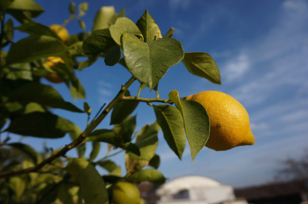 レモンの実も丁度色付きはじめ、これから収穫体験など色々なイベントを始めさせて頂きます!