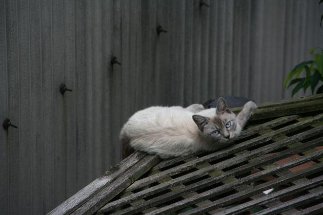 ガーデンドクター柴ちゃんの秘密のガーデンの屋根でくつろぐ猫。