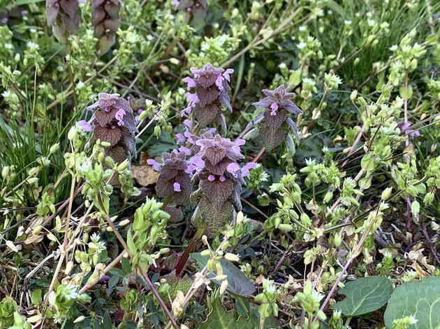 足元にはヒメオドリコソウが咲き素敵な春がやってきていました。
