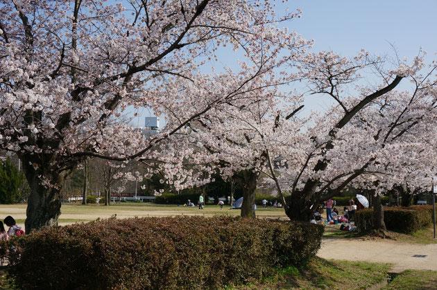 ソメイヨシノはかなり古い木のようです 枝振りが悪いのは思い切った手入れをしたと言う事でしょうか?そこまでは見ませんでした