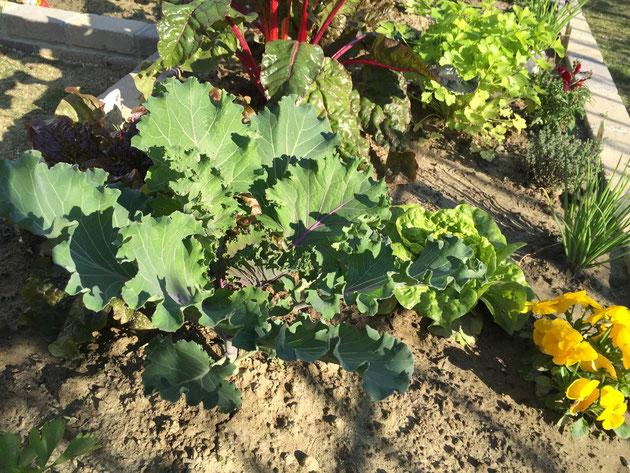 こちらはスイスチャードに対して左右対称に植えられていた『葉牡丹ブロッコリー』!こんなのあるなんて知らなかった・・・