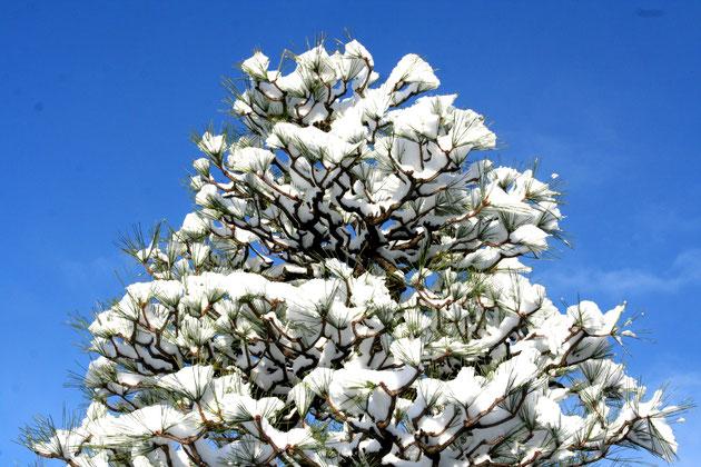 しっかりと形作られた黒松に雪が被る