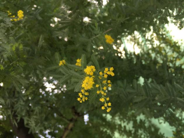 咲き始めたミモザ。やはり2月中に開花してしまった・・・
