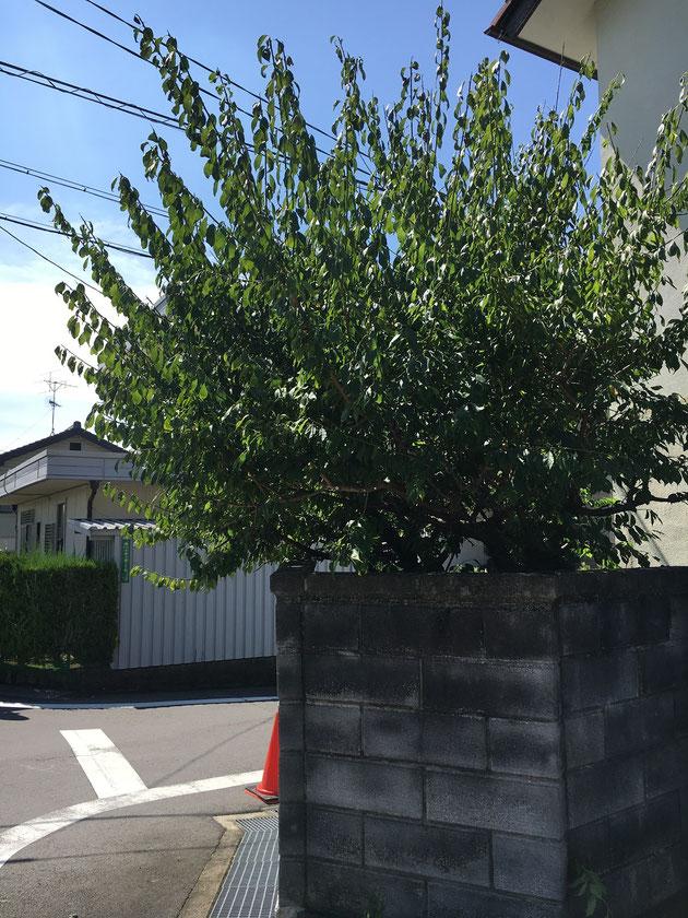梅の木も道路に出てしまうほど大きく