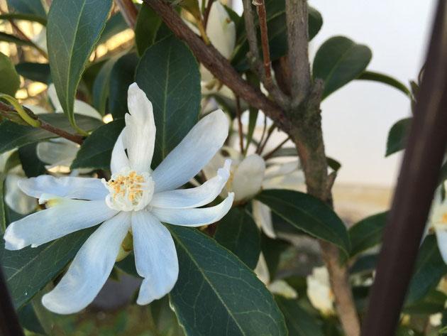 サザンカの花弁が素敵なタイプを見つけました。原種に近いタイプでしょうか?