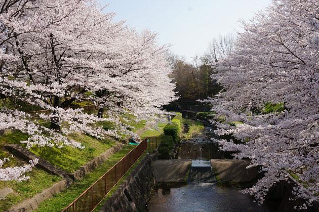 白沢渓谷の桜 ゆとリートラインから見下ろすと川に沿って植えられたソメイヨシノが川の様に見える