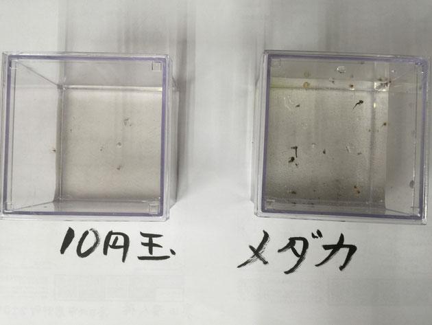 10円玉VSメダカでどちらが蚊を寄り減らせるかの実験は、全く予想外の結果に終わりました。