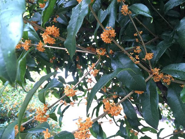 これは生垣ではありませんが、このオレンジの花から良い香りがします!