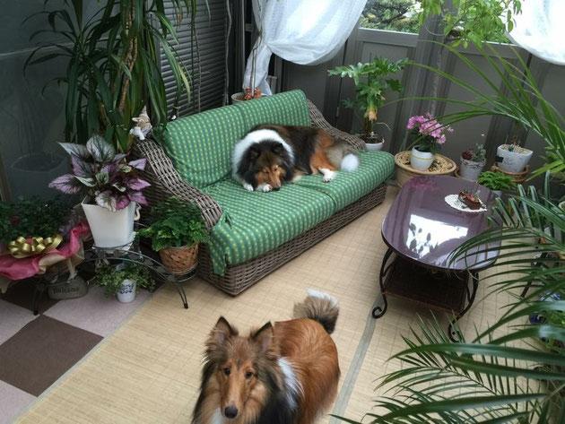 ガーデンルームがお気に入りのシェルティちゃん達。家の中の様な心地よい空間に見えますが、ガーデンルーム内です。