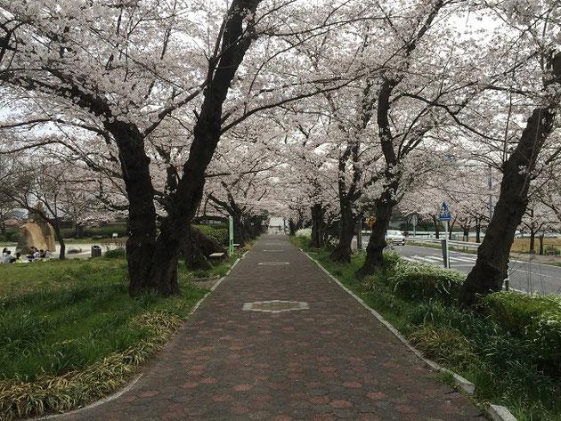 この遊歩道は本当に綺麗だ。ソメイヨシノ最高!
