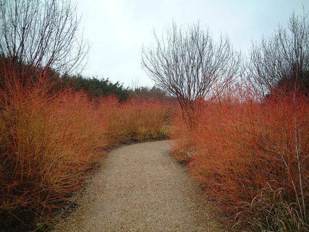 サンゴミズキの幹の色が一色でも、これだけの見せ場を作ることが出来る