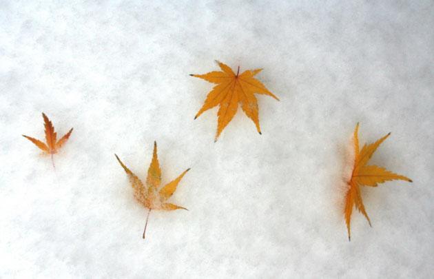 モミジの黄色い葉が雪によく映える