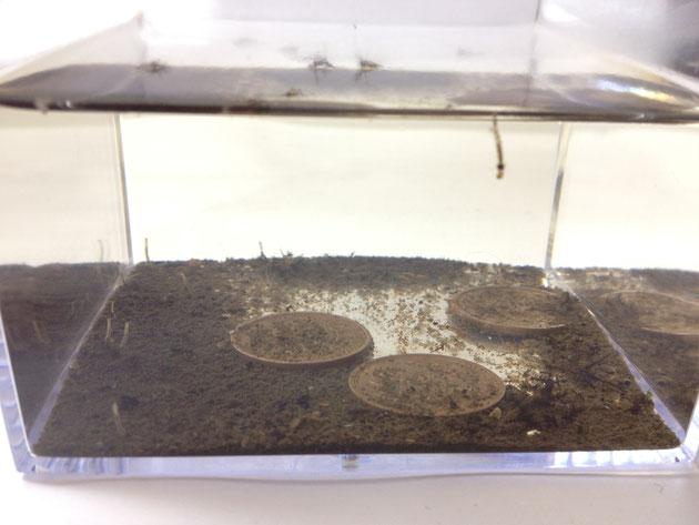 ガーデンドクター柴ちゃんの永遠の宿敵「蚊」を育てたときの状況。10円玉で蚊の発生を抑えられるか?