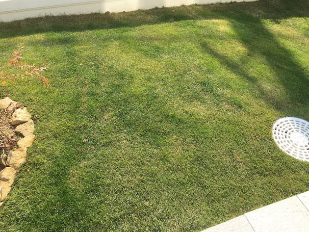 あれ?まだこんなに緑だっけ?芝生って?とおもったら・・・オーバーシーディングしてあった!