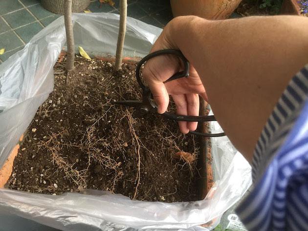 シマトネリコの根を木ばさみできるガーデンドクター柴ちゃん