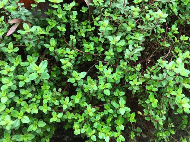 タイムもシソ科の植物。