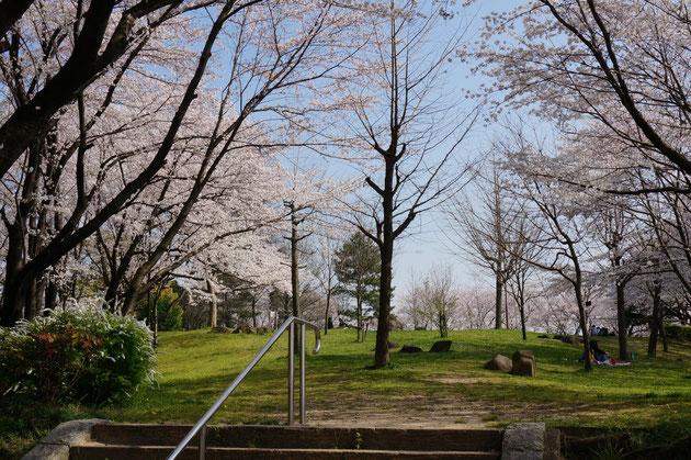 敷地は緩やかに北に下って来ていますが、敷地の周りに咲く桜は圧巻