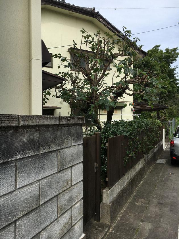 柿の木。バッサリと!