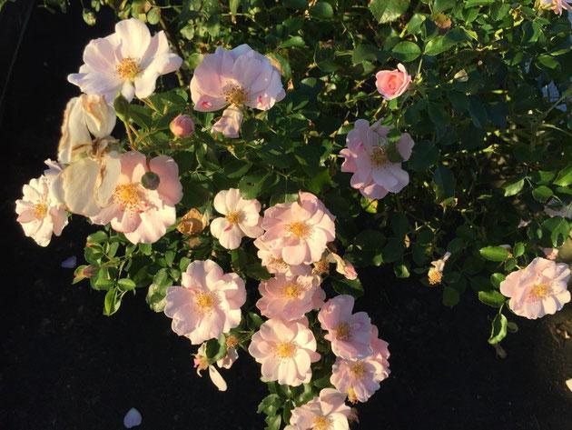 山下公園のバラ園ではまだバラが咲いていた。
