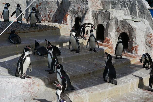 シェードの下で諒をとるペンギンたち。そりゃあ暑いよね。