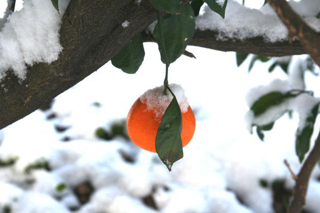 ミカンも雪の寒さに耐えて糖度があがる?