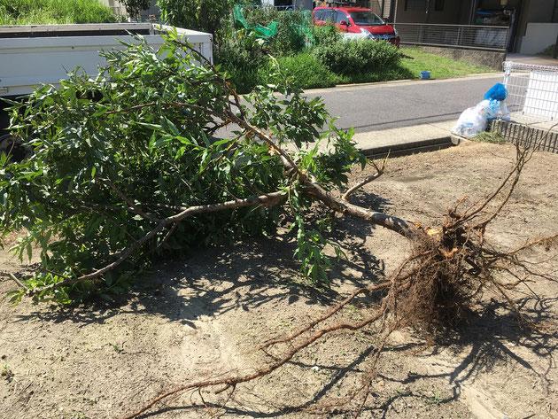 樹木を根から引っこ抜きました!