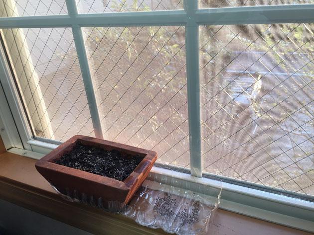 ガーデンドクター柴ちゃんのデスクの前の窓辺にセット完了!!!チアシードは発芽するか?