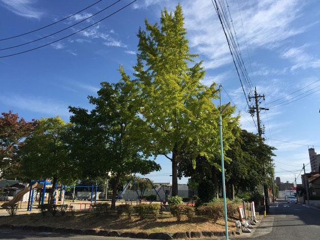 夏の間に伸びた草も綺麗に刈られた五反田公園。ここのイチョウの木の下で宝物を発見!
