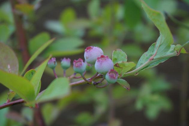 ブルーベリーを植栽に加えています。実のなる植物があると庭は楽しいですね。