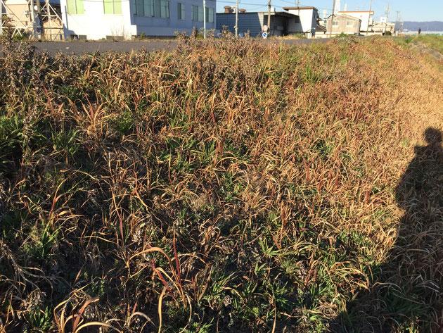 他の草に混ざってわかり難いが、かなりヨモギが隠れている。地下茎が広がっていると思われる。