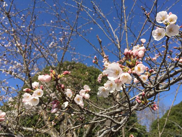 2018/3/23 今日一番の咲き具合のソメイヨシノ小幡緑地本園にて