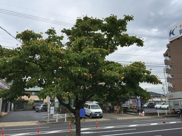 オレンジ色に色付いたヤマボウシの実