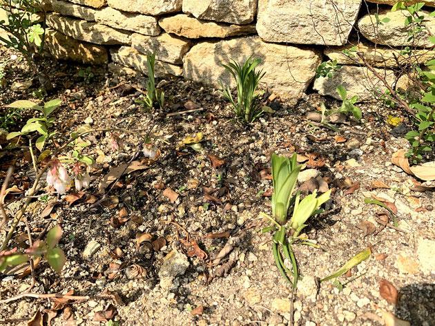 ヤブランのお手入れは中心から伸びている新しい葉だけを残して周りの古葉を全てカットする!