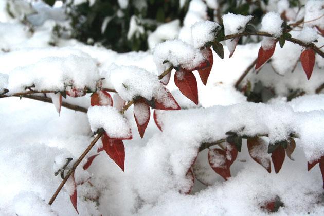 アベリアも寒さで紅葉している