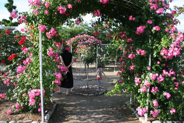 春日井市にあった無料で入れる王子バラ園 素晴らしいバラのクオリティ 今が最高に美しいです