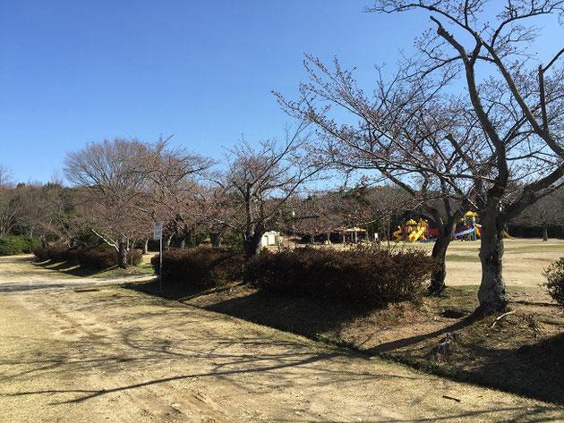 小幡緑地公園のソメイヨシノ2018
