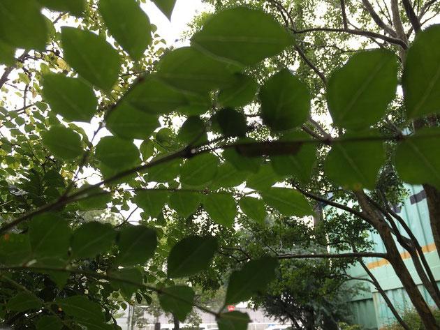 ウンチの上をみたら見事にその主が!これがシマトネリコを食べる害虫だ!